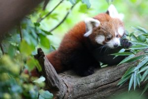 crvena-panda-2