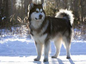 2016-Alaskan-Malamute-Dog
