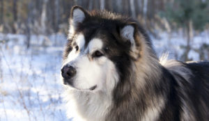 Four_Phases_of_Epileptic_Seizures_in_Malamutes