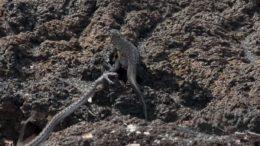 iguana-youtube