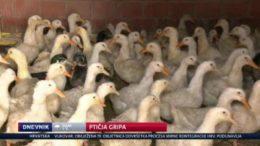 pticja gripa